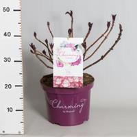 "Plantenwinkel.nl Hydrangea Macrophylla ""Charming® Lisa Pink""® boerenhortensia - 30-40 cm - 1 stuks"