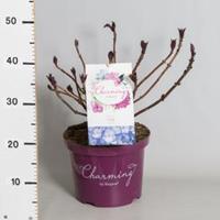 "Plantenwinkel.nl Hydrangea Macrophylla ""Charming® Lisa Blue""® boerenhortensia - 30-40 cm - 1 stuks"