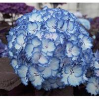 "Plantenwinkel.nl Hydrangea Macrophylla ""Charming® Julia Blue""® boerenhortensia"