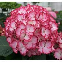 "Plantenwinkel.nl Hydrangea Macrophylla ""Charming® Julia Pink""® boerenhortensia"