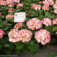"Plantenwinkel.nl Hydrangea Macrophylla ""Kanmara de Beauty Pink""® boerenhortensia"