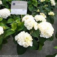 "Plantenwinkel.nl Hydrangea Macrophylla ""Kanmara De Beauty White""® boerenhortensia"