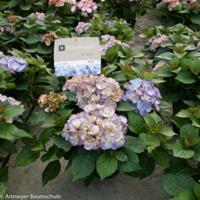 """Plantenwinkel.nl Hydrangea Macrophylla """"Kanmara de Beauty Lila""""® boerenhortensia"""