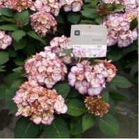 """Plantenwinkel.nl Hydrangea Macrophylla """"Kanmara De Beauty Roze""""® boerenhortensia"""