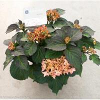 """Plantenwinkel.nl Hydrangea Macrophylla """"Kanmara De Beauty Champagne""""® boerenhortensia"""