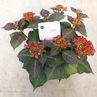 "Plantenwinkel.nl Hydrangea Macrophylla ""Kanmara De Beauty Rozé""® boerenhortensia"