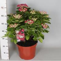 "Plantenwinkel.nl Hydrangea Macrophylla Classic® ""Lady In Red""® schermhortensia - 50-60 cm - 1 stuks"