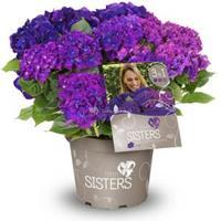 "Plantenwinkel.nl Hydrangea Macrophylla ""Three Sisters""® Violett boerenhortensia"