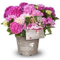 "Plantenwinkel.nl Hydrangea Macrophylla ""Three Sisters""® Pink boerenhortensia"