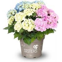 "Plantenwinkel.nl Hydrangea Macrophylla ""Three Sisters""® Pastel boerenhortensia"