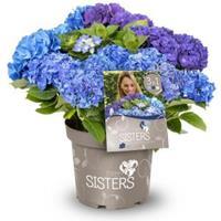 "Plantenwinkel.nl Hydrangea Macrophylla ""Three Sisters""® Blue boerenhortensia"