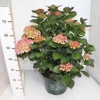 "Plantenwinkel.nl Hydrangea Macrophylla ""Black Diamond® Red Angel""® boerenhortensia - 40-50 cm - 1 stuks"