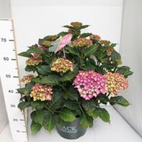 "Plantenwinkel.nl Hydrangea Macrophylla ""Black Diamond® Red Angel Purple""® boerenhortensia - 40-50 cm - 1 stuks"