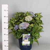 "Plantenwinkel.nl Hydrangea Macrophylla ""Magical Amethyst Blauw""® boerenhortensia - 40-50 cm - 1 stuks"