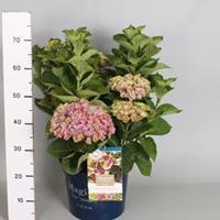 "Plantenwinkel.nl Hydrangea Macrophylla ""Magical Amethyst Roze""® boerenhortensia - 40-50 cm - 1 stuks"