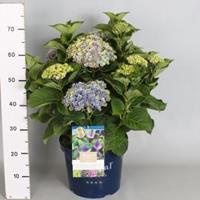"Plantenwinkel.nl Hydrangea Macrophylla ""Magical Coral Blue""® boerenhortensia - 40-50 cm - 1 stuks"