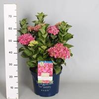 "Plantenwinkel.nl Hydrangea Macrophylla ""Magical Coral Pink""® boerenhortensia - 40-50 cm - 1 stuks"