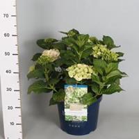 "Plantenwinkel.nl Hydrangea Macrophylla ""Magical Noblesse""® boerenhortensia - 40-50 cm - 1 stuks"
