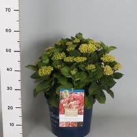 "Plantenwinkel.nl Hydrangea Macrophylla ""Magical Revolution Roze""® boerenhortensia - 50-60 cm - 1 stuks"
