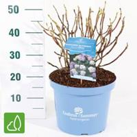"Plantenwinkel.nl Hydrangea Macrophylla ""Endless Summer Bloomstar Blue""® boerenhortensia - 50-70 cm - 1 stuks"