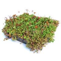 Sempergreen Minimaal 75 stuks! Sedumtray voor daken Type TE Kant & Klaar 15 graden