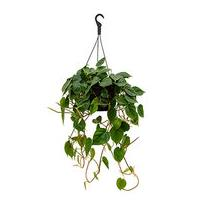 Philodendron scandens M hangplant