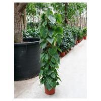 Philodendron scandens mosstok 150 kamerplant