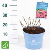 "Plantenwinkel.nl Hydrangea Macrophylla ""Endless Summer Bloomstar Pink""® boerenhortensia - 25-30 cm - 1 stuks"
