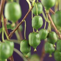 """Vanderstarre Mini kiwi (Actinidia arguta """"Issai"""") klimplant"""