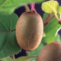 "Vanderstarre Kiwi (zelfbestuivend) (Actinidia deliciosa ""Jenny"") klimplant"
