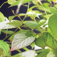 Vanderstarre Sierkiwi (Actinidia kolomikt) klimplant