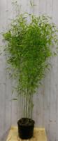 Bamboe Fargesia 200 cm