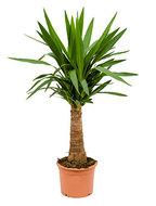 Yucca elephantipes bulb M kamerplant
