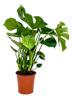 Monstera pertusem M gatenplant kamerplant