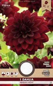 tuincentrumkoeman Dahlia Decoratief Arabian Night planthoogte: 40 - 60 cm