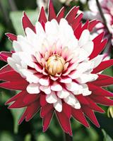 tuincentrumkoeman Dahlia Decoratief Rebecca s world planthoogte: 40 - 60 cm