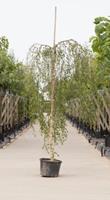 Warentuin Prieelberk Betula pendula Youngii h 150 cm st. dia 6 cm st. h 120 cm