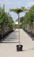Warentuin Haagbeuk vierkant dak Carpinus betulus h 170 cm st. dia 10 cm st. h 160 cm