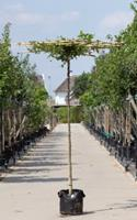 Warentuin Haagbeuk vierkant dak Carpinus betulus h 190 cm st. dia 10 cm st. h 180 cm
