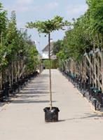 Warentuin Haagbeuk kruisdak Carpinus betulus h 210 cm st. dia 12 cm st. h 200 cm