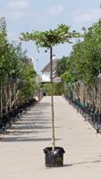 Warentuin Haagbeuk kruisdak Carpinus betulus h 230 cm st. dia 12 cm st. h 220 cm