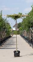 Warentuin Haagbeuk vierkant dak Carpinus betulus h 210 cm st. dia 12 cm st. h 200 cm