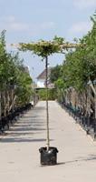 Warentuin Haagbeuk vierkant dak Carpinus betulus h 230 cm st. dia 12 cm st. h 220 cm