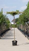 Warentuin Haagbeuk vierkant dak Carpinus betulus h 230 cm st. dia 16 cm st. h 220 cm