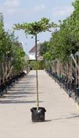 Warentuin Haagbeuk kruisdak Carpinus betulus h 230 cm st. dia 16 cm st. h 220 cm
