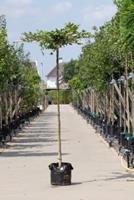 Warentuin Haagbeuk kruisdak Carpinus betulus h 250 cm st. dia 18 cm st. h 240 cm