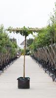 Warentuin Laurierkers vierkant dak Prunus laurocerasus h 210 cm st. dia 12 cm st. h 200 cm