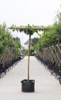 Warentuin Laurierkers vierkant dak Prunus laurocerasus h 220 cm st. dia 12 cm st. h 210 cm