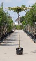 Warentuin Haagbeuk vierkant dak Carpinus betulus h 250 cm st. dia 18 cm st. h 240 cm