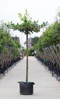 Warentuin Laurierkers kruisdak Prunus laurocerasus h 230 cm st. dia 16 cm st. h 220 cm